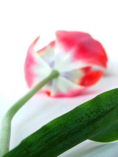 tulipano7.jpg